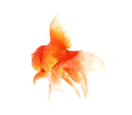 golden fish isolate on white Stock Photo - 18198876