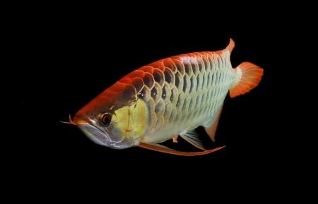 dragon swim: Asian Arowana fish on black background Stock Photo