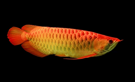 Asian Arowana fish on black background Stock Photo - 18514940