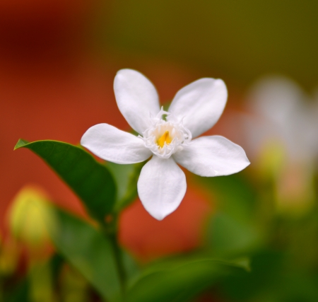 White Gardenia  photo