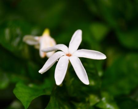 gardenia: White Gardenia