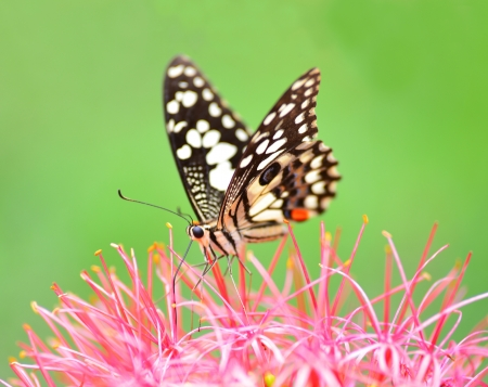 Closeup Butterfly on pink flower photo