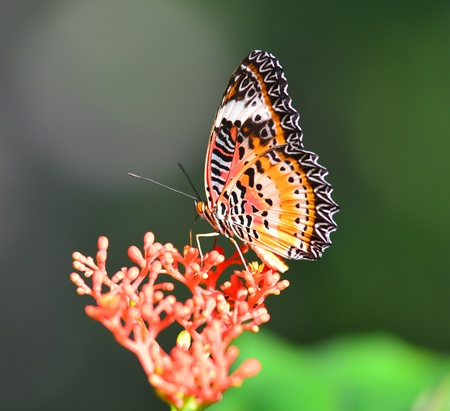Closeup Butterfly on red flower photo