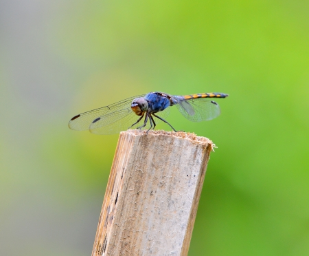 diffused: Black Darter dragonfly Stock Photo