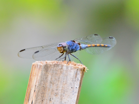 compound eyes: Black Darter dragonfly Stock Photo