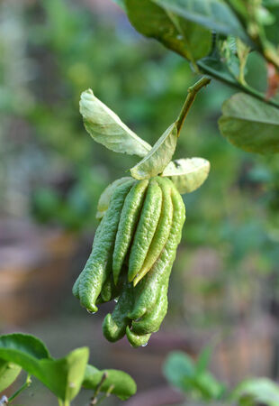 fragrant Buddha's hand or fingered citron fruit, Citrus medica  photo