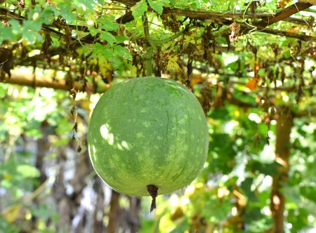ash gourd: Ash gourd,kumbalanga Th is is also called winter melon, white gourd or winter gourd