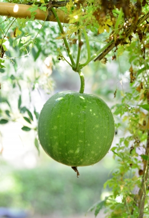 Ash gourd,kumbalanga Th is is also called winter melon, white gourd or winter gourd photo