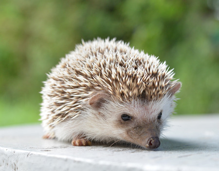 Hedgehog on table Stock Photo