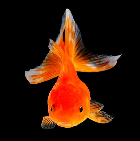 peces de colores: pez de colores aislados sobre fondo negro Foto de archivo