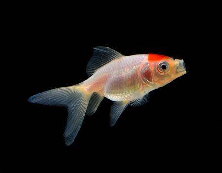 aquarium fish: goldfish isolated on black