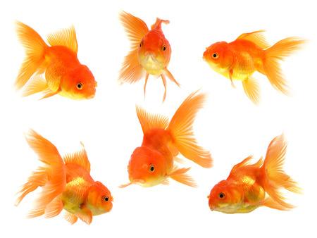 peces de colores: Goldfish aislado en el fondo blanco