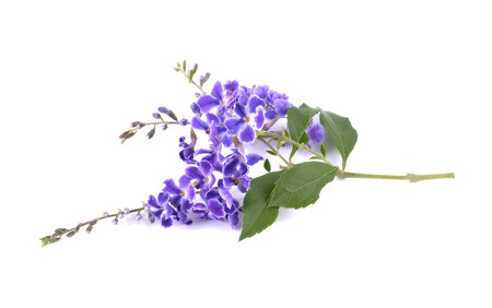 violet flowers: Violet flower. Golden Dew Drop, Duranta erecta on white
