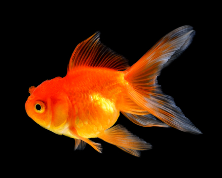 jelly head: goldfish isolated on black background