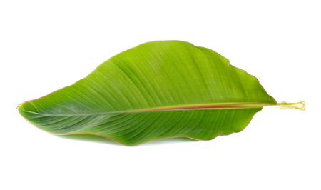 banana leaves: Young banana leaf on white background. Stock Photo
