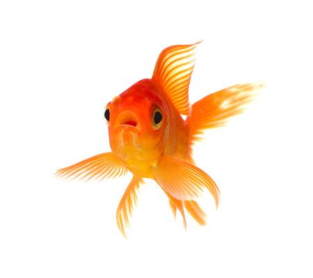 白い背景で隔離の金魚 写真素材