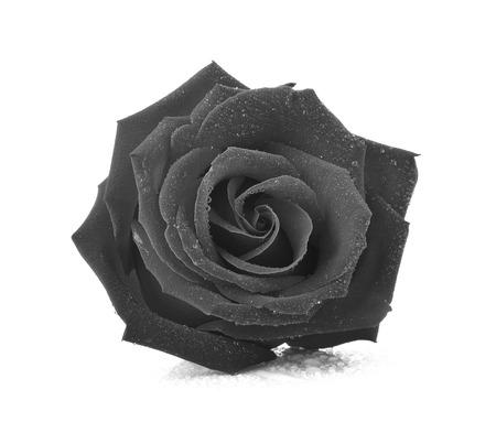 Black rose isolated on white background. Reklamní fotografie