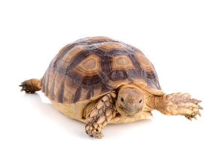 omnivore: turtle on white background