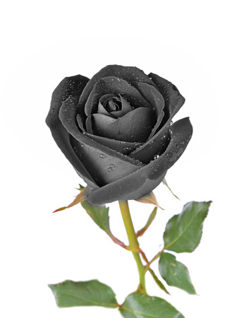 Black rose isolated on white background. Reklamní fotografie