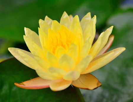 Yellow Lotus flowers (Nymphaea,Waterlily) Stock Photo