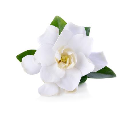 흰색에 치자 나무 꽃