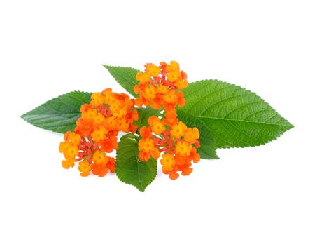 lantana: Orange flower, Lantana camara flower is isolated on white background