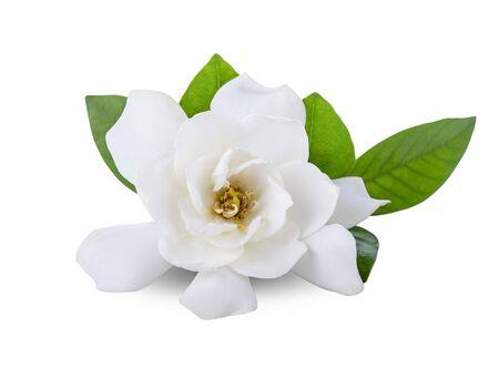 Fleurs de gardénia sur fond blanc Banque d'images