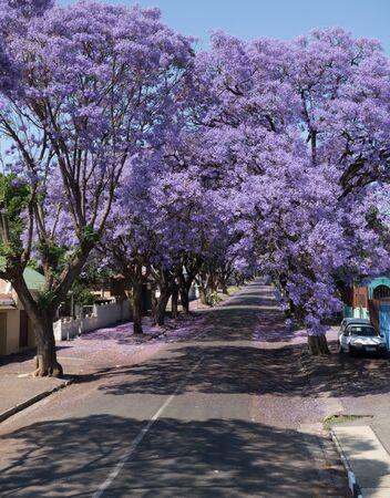 Blooming drzewa Jacaranda w Johannesburgu, Republika Południowej Afryki