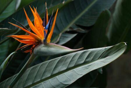 Blooming strellizia reginae kwiat, a bliska