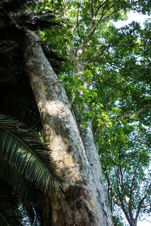 Ogromna pnia drzewa platanus w ogrodzie Zdjęcie Seryjne