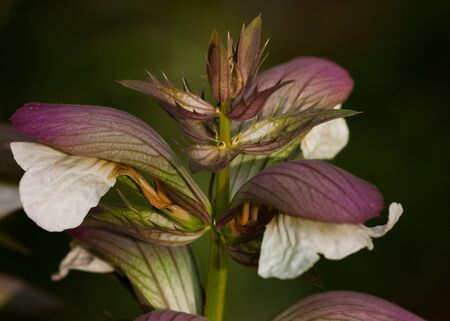 leafed: Purple and white leafed plant: close up Stock Photo