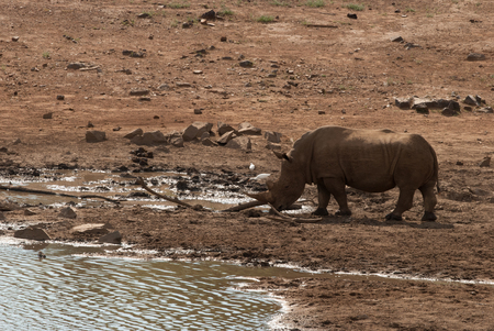 gauteng: A rhino in Pilanesberg National Park in South Africa, at a waterhole Stock Photo