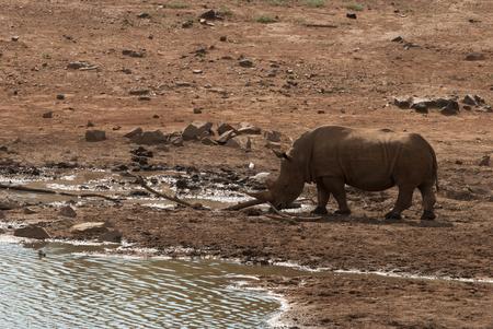pozo de agua: Un rinoceronte en el Parque Nacional de Pilanesberg en Sudáfrica, en una charca Foto de archivo