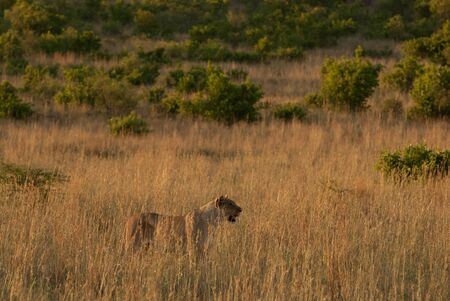 gauteng: A lioness in Pilanesberg grassland in a national park in South Africa Stock Photo