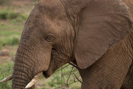 gauteng: A close-up of an African elephant head in Pilanesberg National Park in South Africa Stock Photo