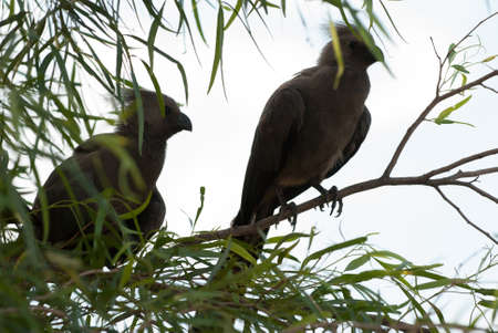 gauteng: A pair of go-away louries on a tree in Pilanesberg National Park, South Africa