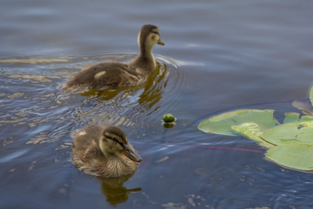 close-up view of two ducklings photo