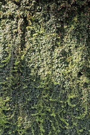wall overgrown with ivy Stock Photo - 17469832