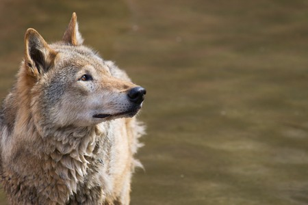Grey wolf in the wate looking to the right