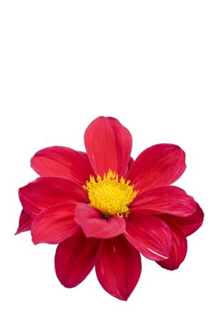 Red isolated dahlia with yellow center in summer photo