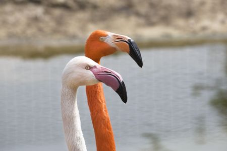 Red flamingo is drinking water in summer photo