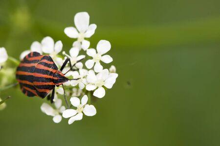 Pluskwiaki równoskrzydłe czerwone stink bug in białe kwiecie na zielone tło Zdjęcie Seryjne - 4714088