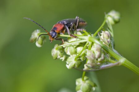 cantharis: Cantharis rustica red bug in white flowers on green background