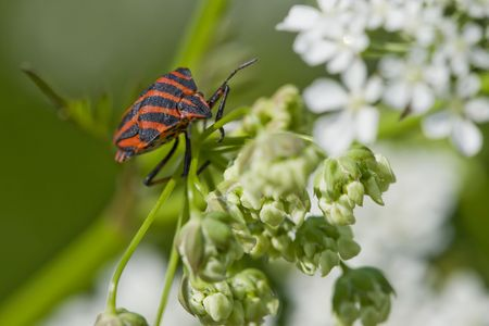 hemiptera: Hemiptera red stink bug in white flowers on green background