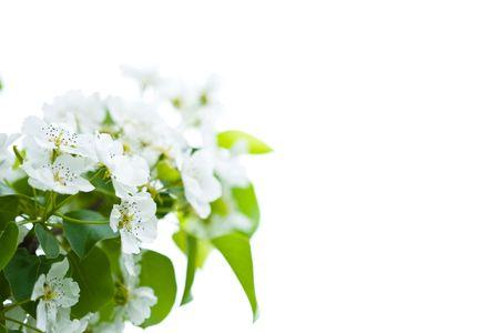 Macro view white flowers of apple tree om white background Stock Photo - 4925547