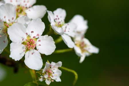 Macro view white flowers of apple tree Stock Photo - 5251445