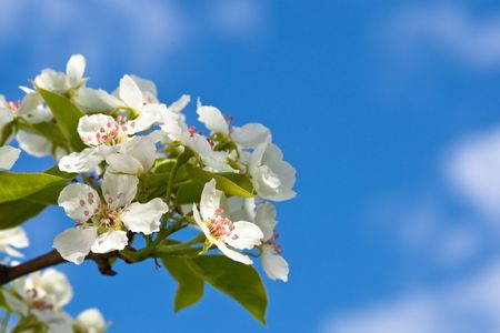 Macro view white flowers of apple tree on blue sky photo