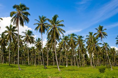 Forest of green palms under blue sky with clouds Stock Photo