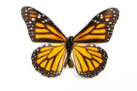 danaus: Butterfly Danaus Plexippus isolated on white background