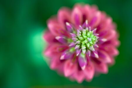Macro View of a Pink Lupine in spring